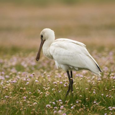European spoonbill in the salt meadows