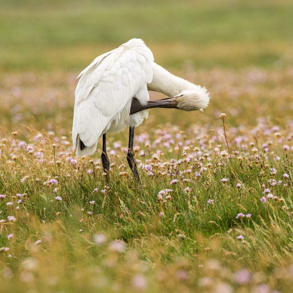 European spoonbill in the salt meadows (040)
