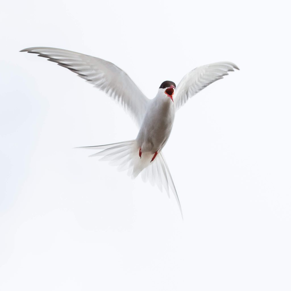 Arctic tern in exhibitionism (0560)