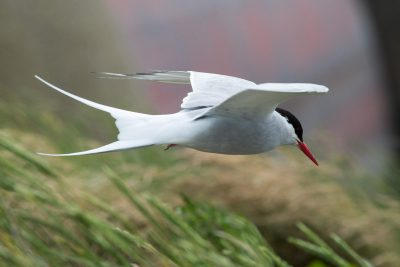 Arctic tern in landing approach (1407)