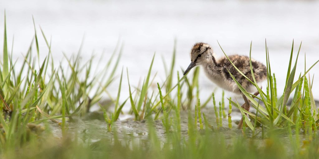 Young Redshank (1604)