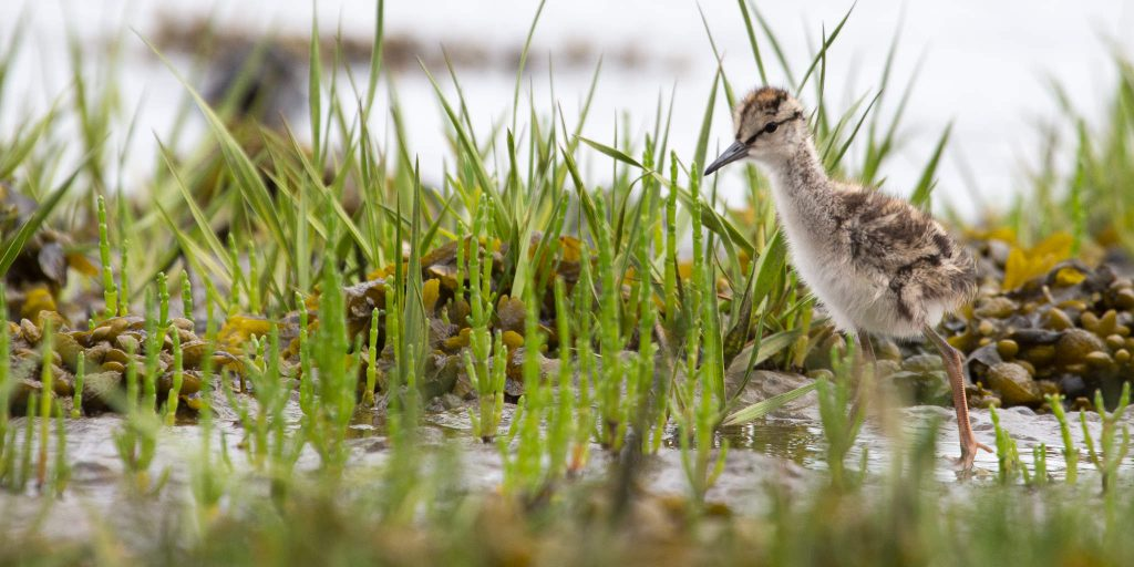 Young Redshank (1618)