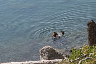 Grand Teton National Park - Bear Family in Jenny Lake (1080)