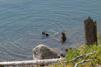 Grand Teton National Park - Bear Family in Jenny Lake (1082)