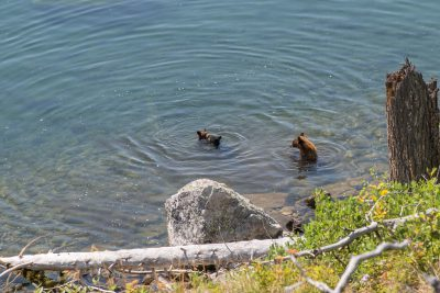 Grand Teton National Park - Bear Family in Jenny Lake (1083)