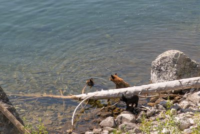 Grand Teton National Park - Bear Family in Jenny Lake (1089)