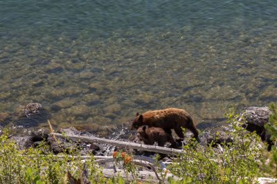Grand Teton National Park - Bear Family in Jenny Lake (1081)