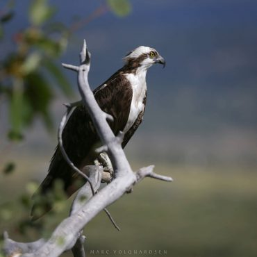 Osprey at Buffalo Valley