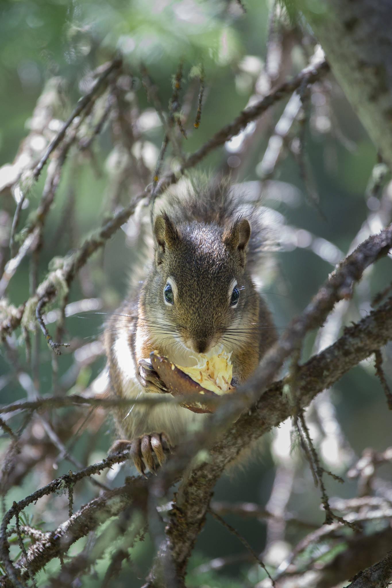 Grand Teton Nationalpark - Eichhörnchen (1280)