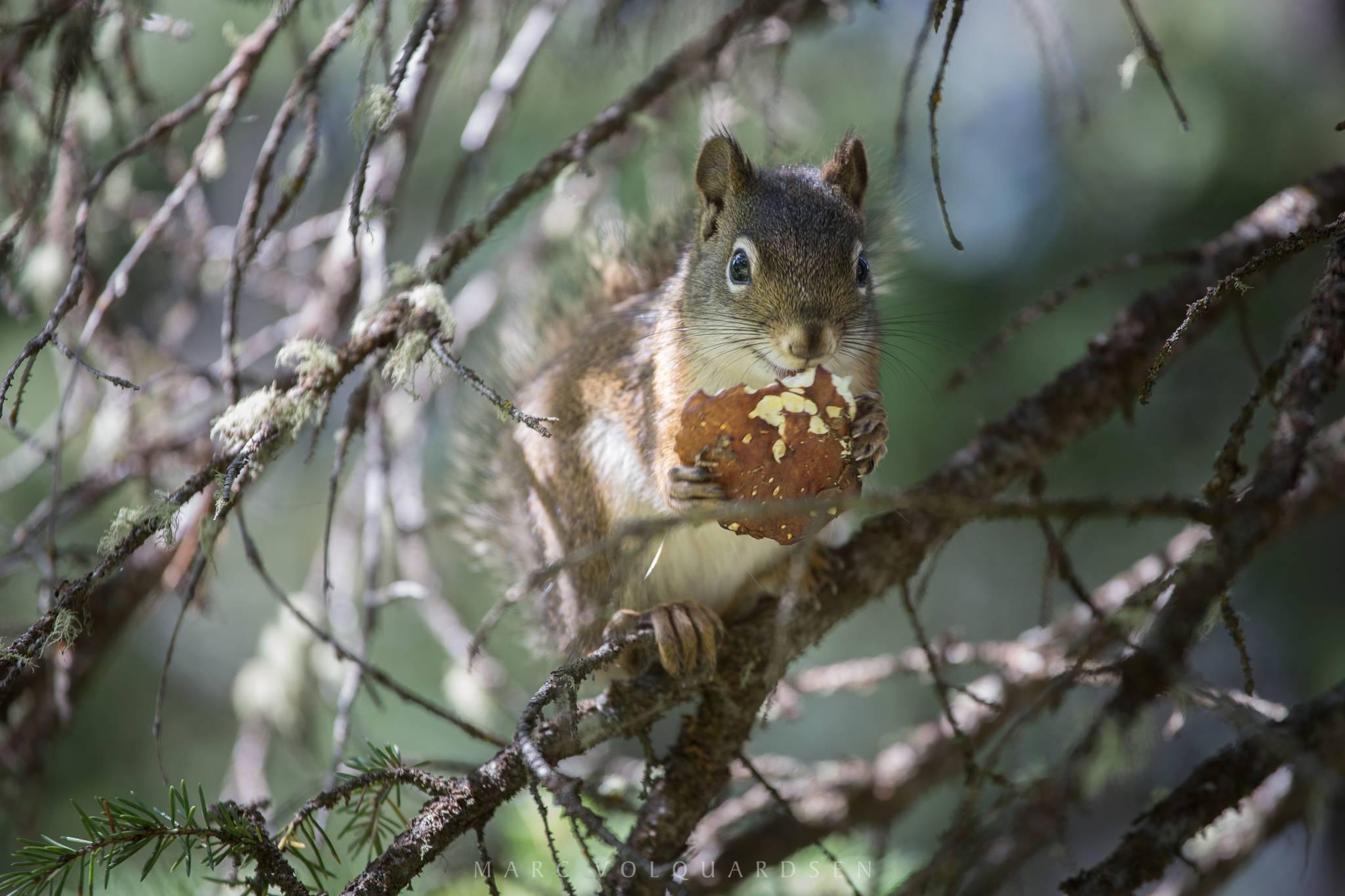 Grand Teton Nationalpark - Eichhörnchen (1294)