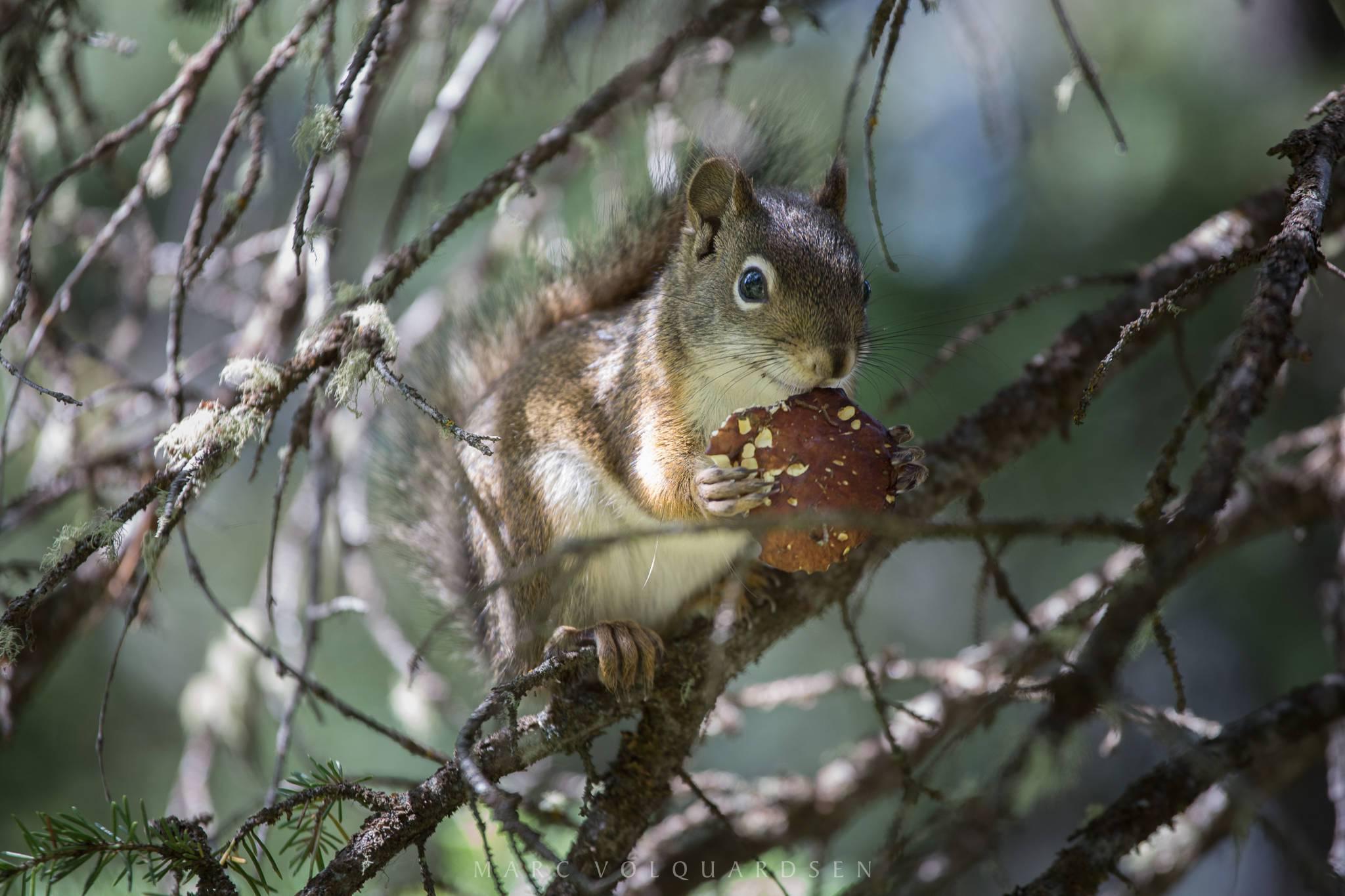 Grand Teton Nationalpark - Eichhörnchen (1303)