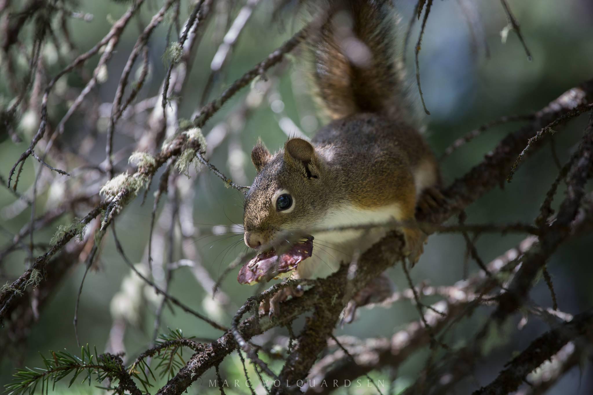 Grand Teton Nationalpark - Eichhörnchen (1305)