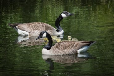 Pair of geese with chicks