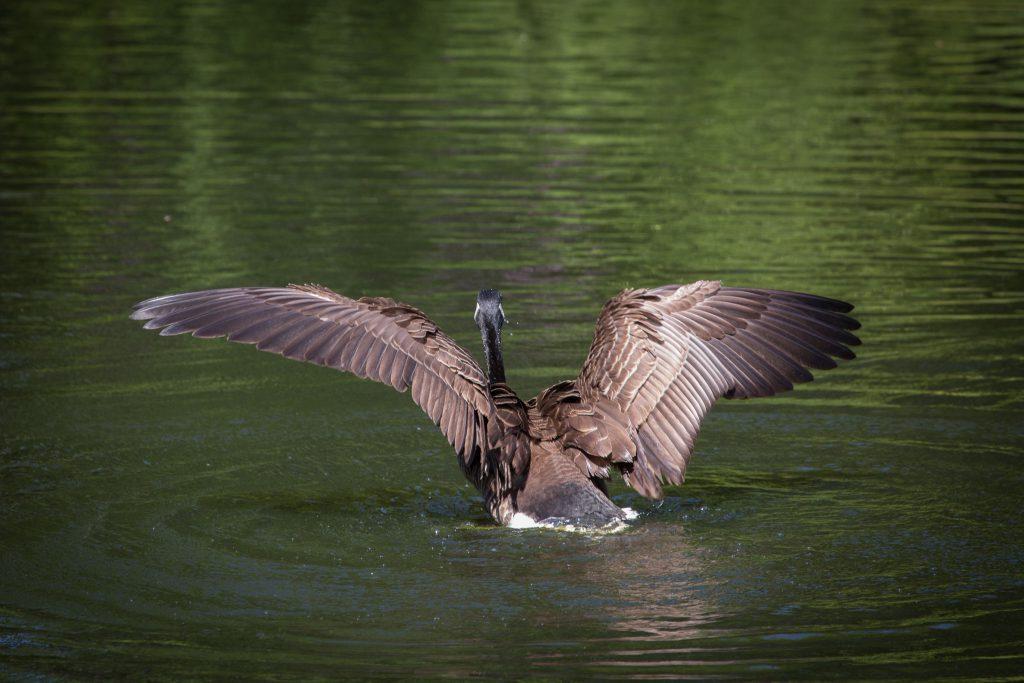 Gans beim Flügel trocknen (II)