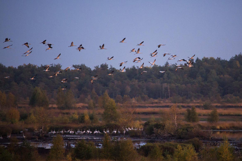 Cranes at Tister Moor