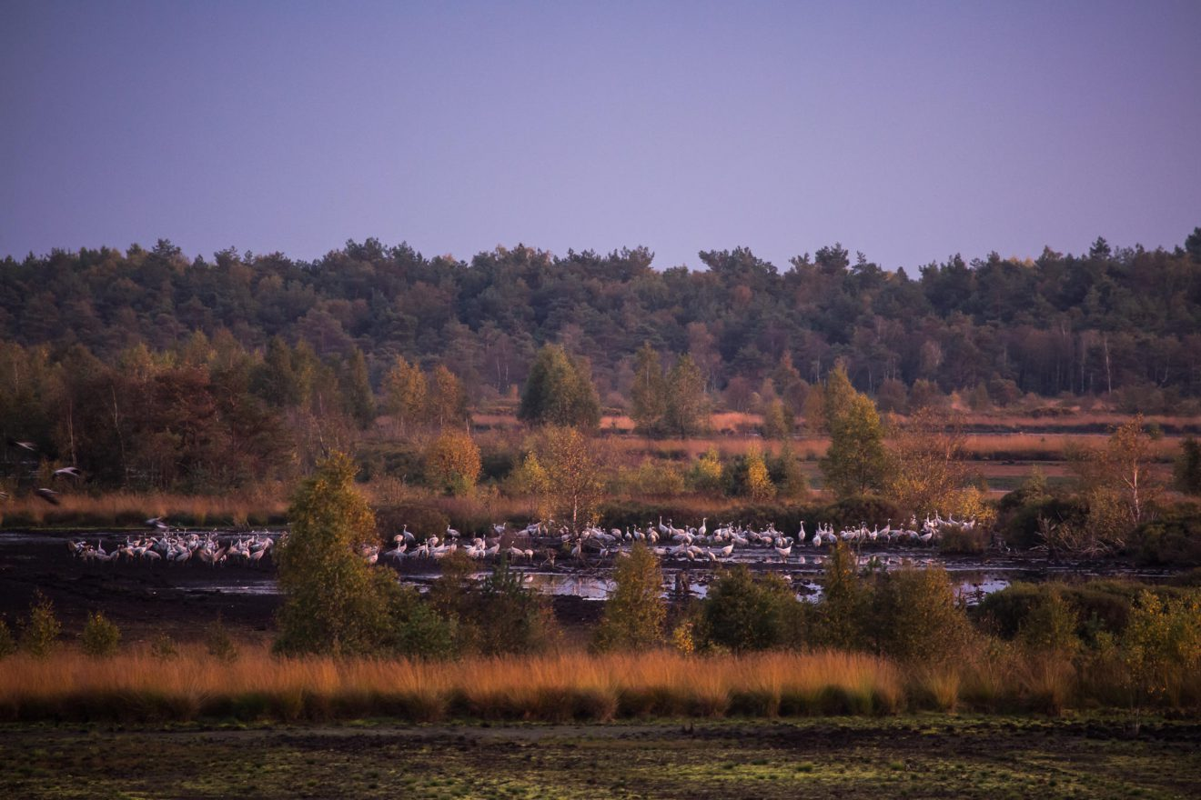 Cranes at Tister Moor (0091)