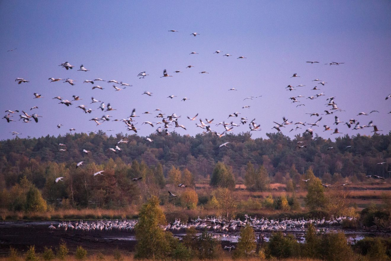 Cranes at Tister Moor (0113)