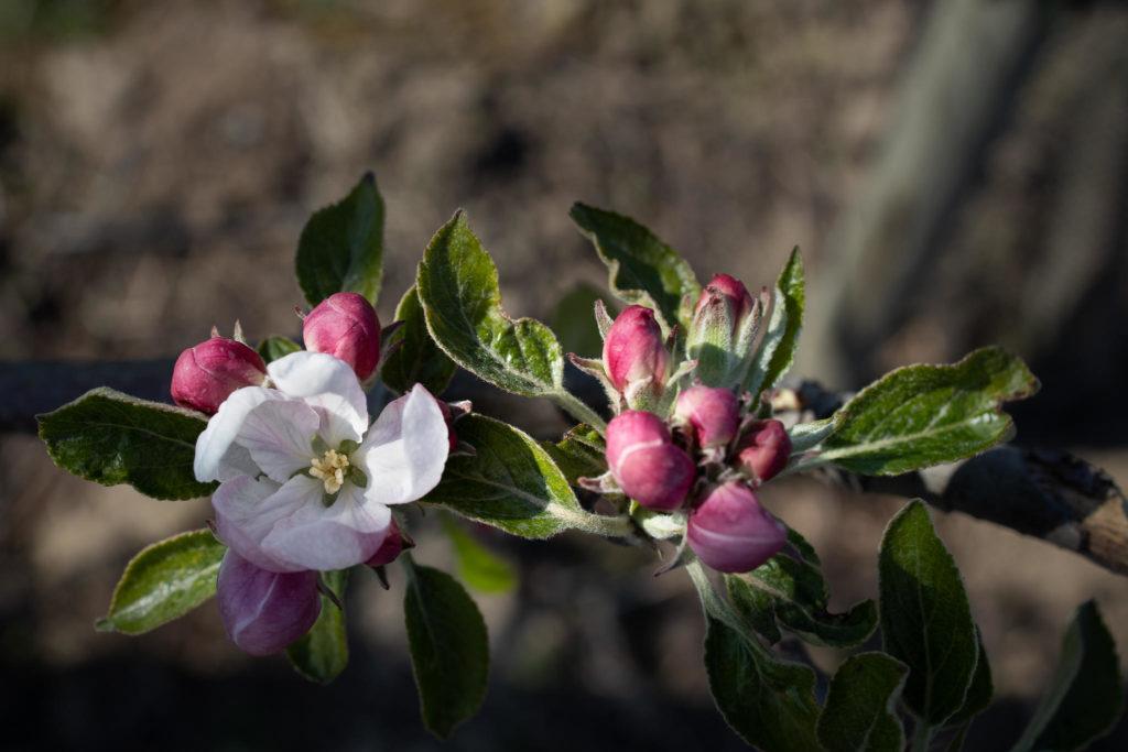 Altes Land - Apfelblüten (0036)