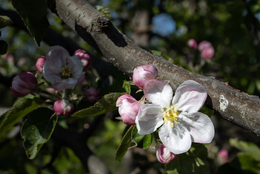 Altes Land - Apfelblüten (0043)