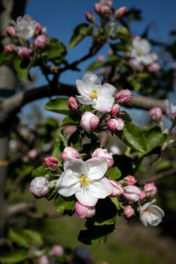 Altes Land - Apfelblüten (0050)