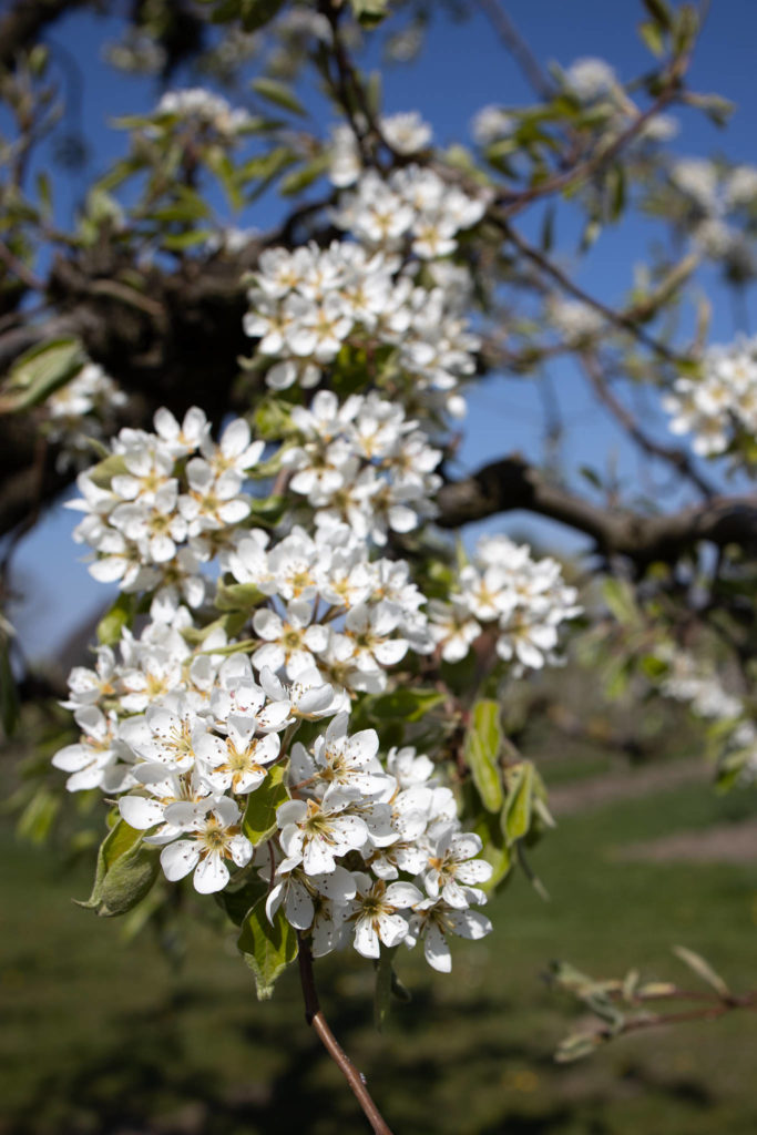 Altes Land - Pear Blossoms (0004)