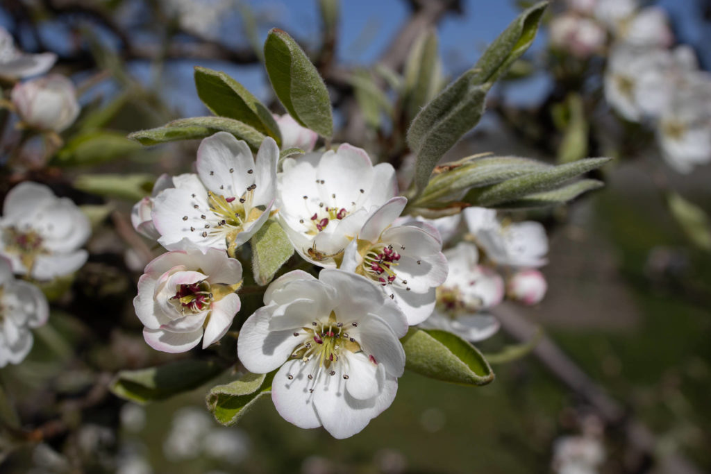 Altes Land - Pear Blossoms (0010)
