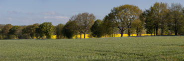 Grain and rape field at the avenue to Meilsen