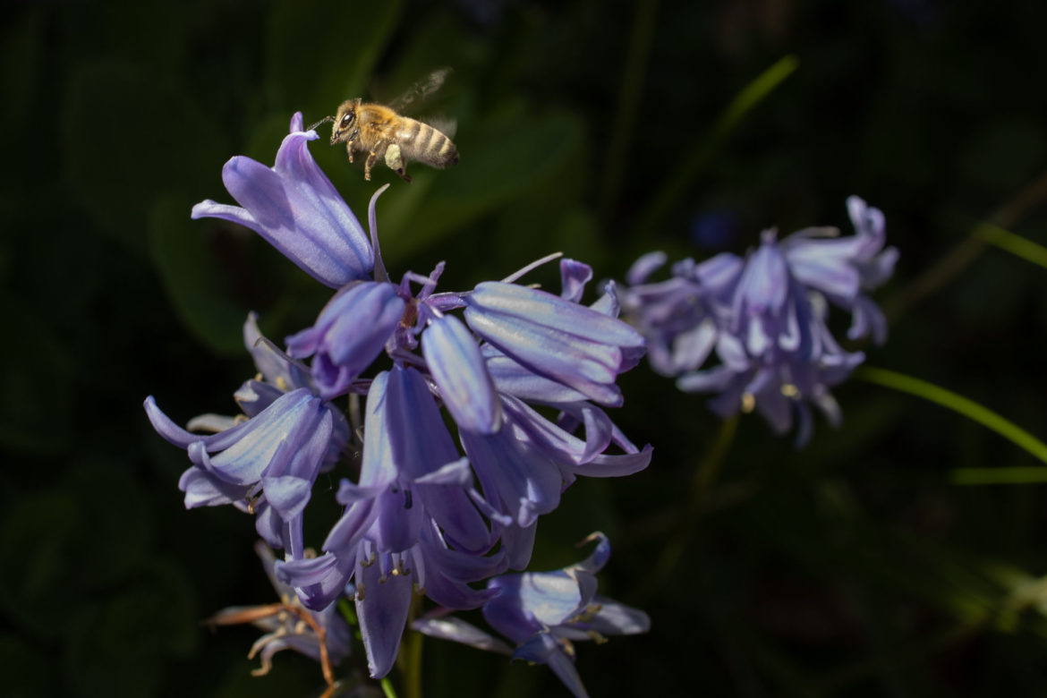 Bees in our garden