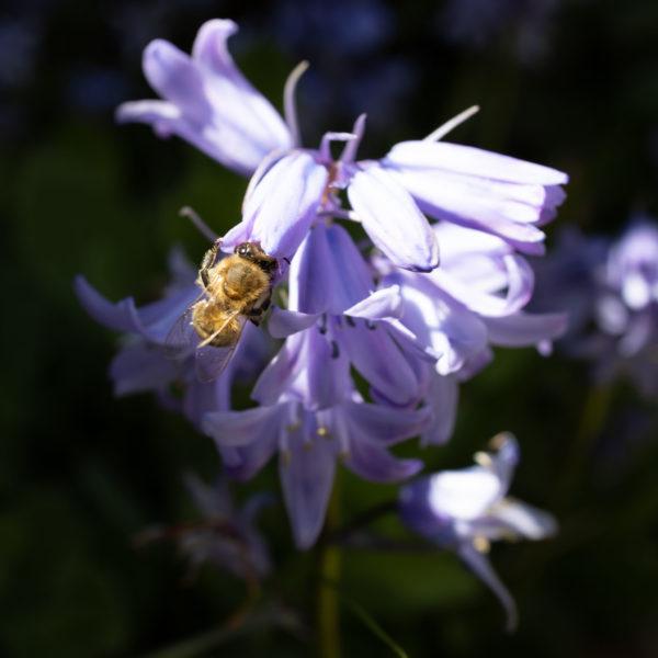 Bee sucking nectar (0016)