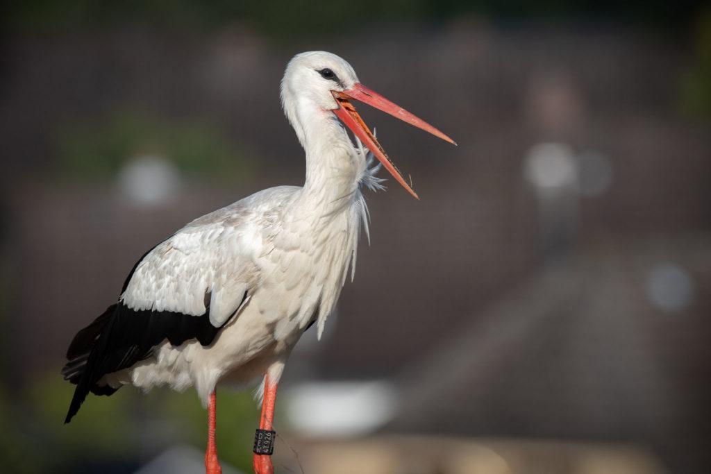 Old Stork Portrait (0391)