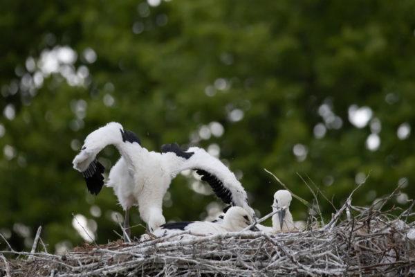 stork cub (0083)