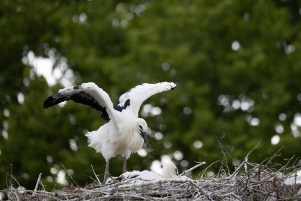 stork cub (0098)