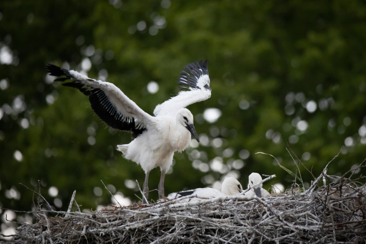 When I grow up, I'm gonna be a rattling stork