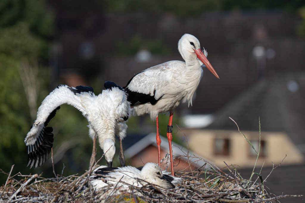 Stork father & young (0420)