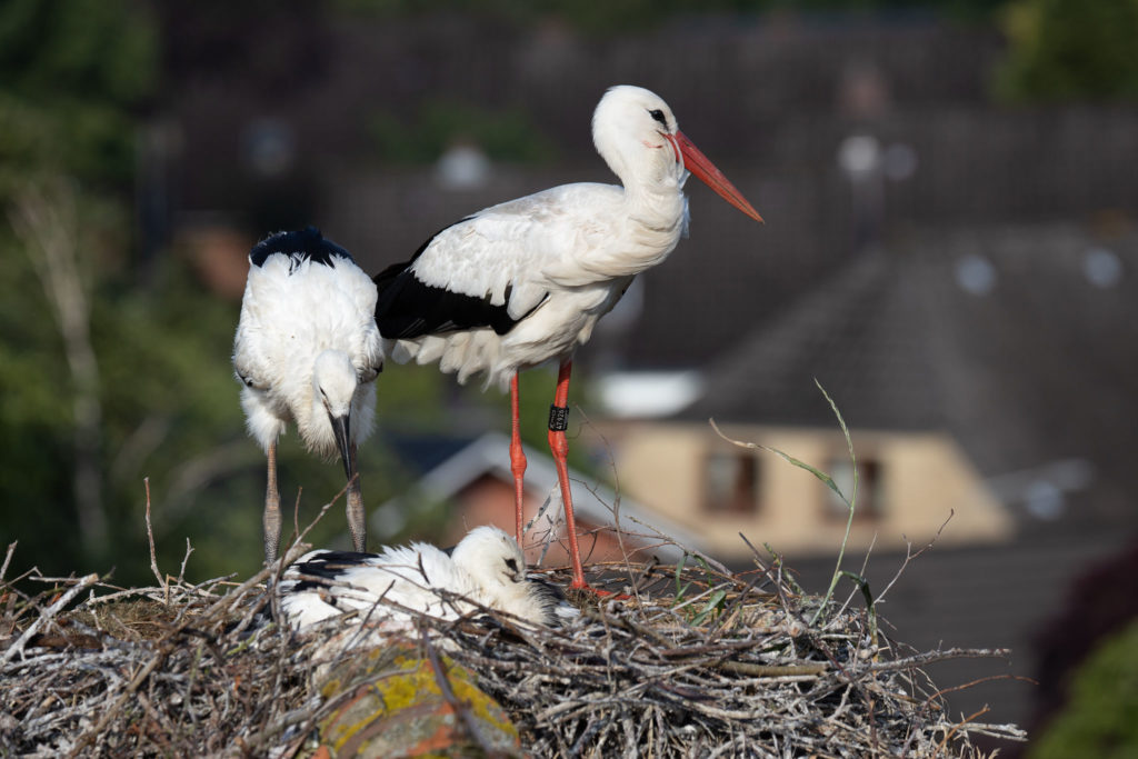 Stork father & young (0423)