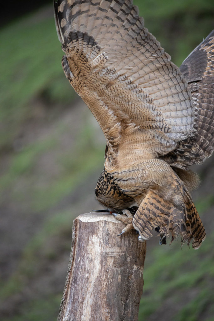 Wildlife Park Schwarze Berge - Owl Approaching