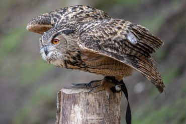 Wildlife Park Schwarze Berge — Eagle Owl