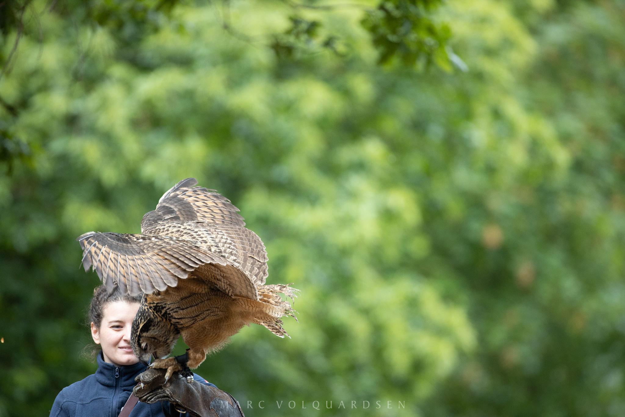 Wildlife Park Schwarze Berge - Owl Approaching (0499)