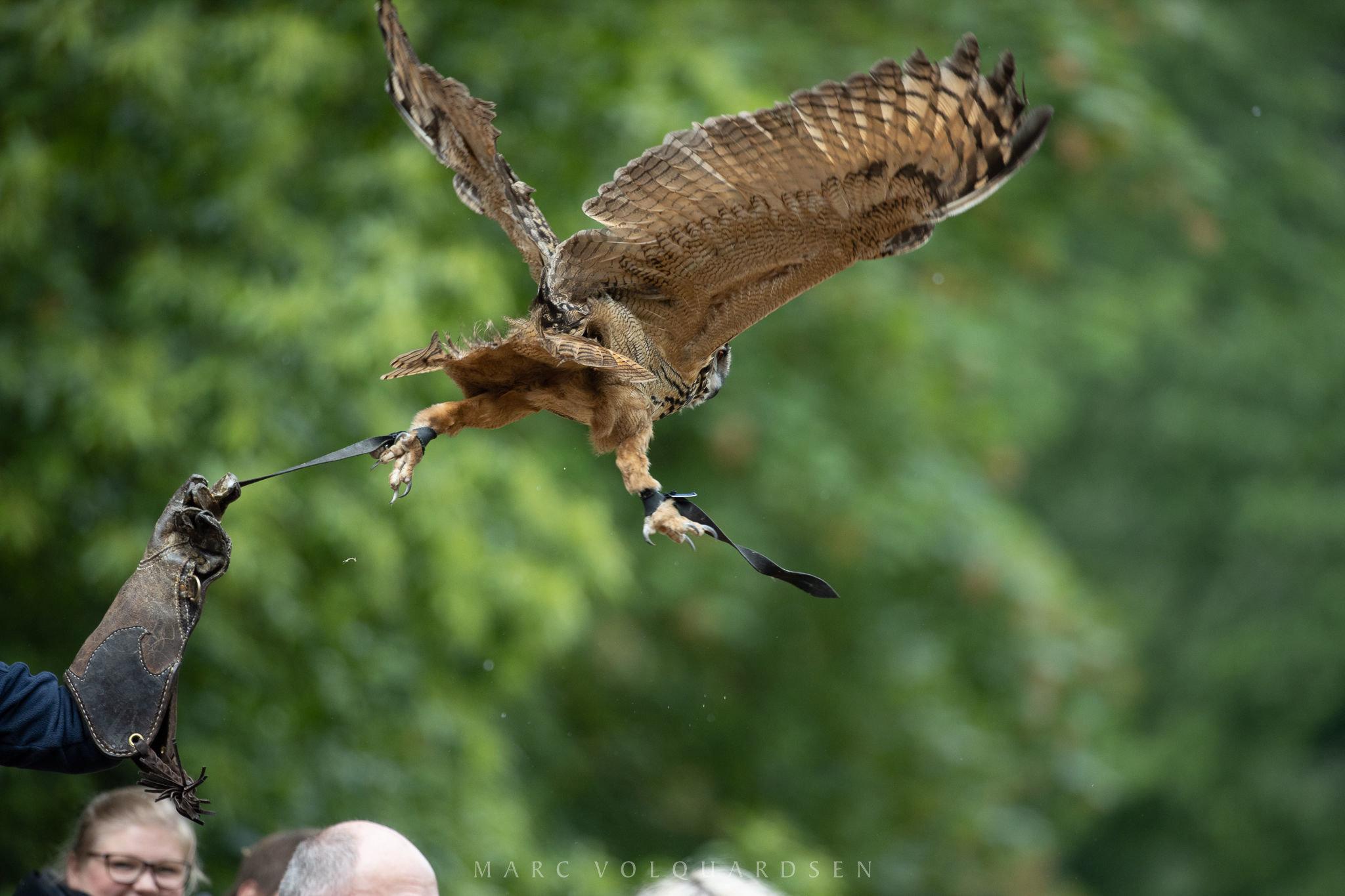 Wildlife Park Schwarze Berge - Owl departing (0501)