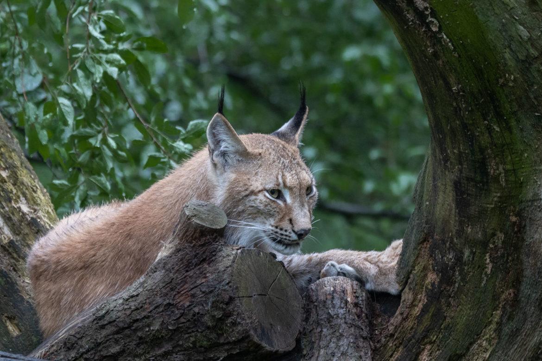 Lynx in the Wildlife Park