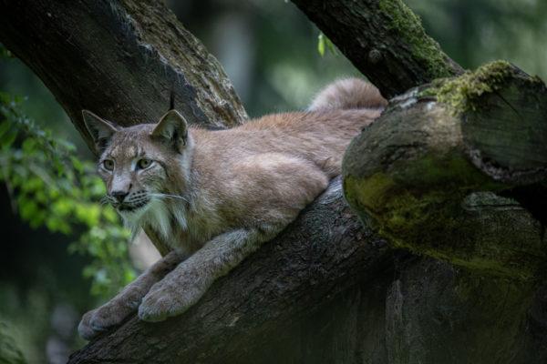 Wildlife Park Schwarze Berge - Lynx Finn (0912)