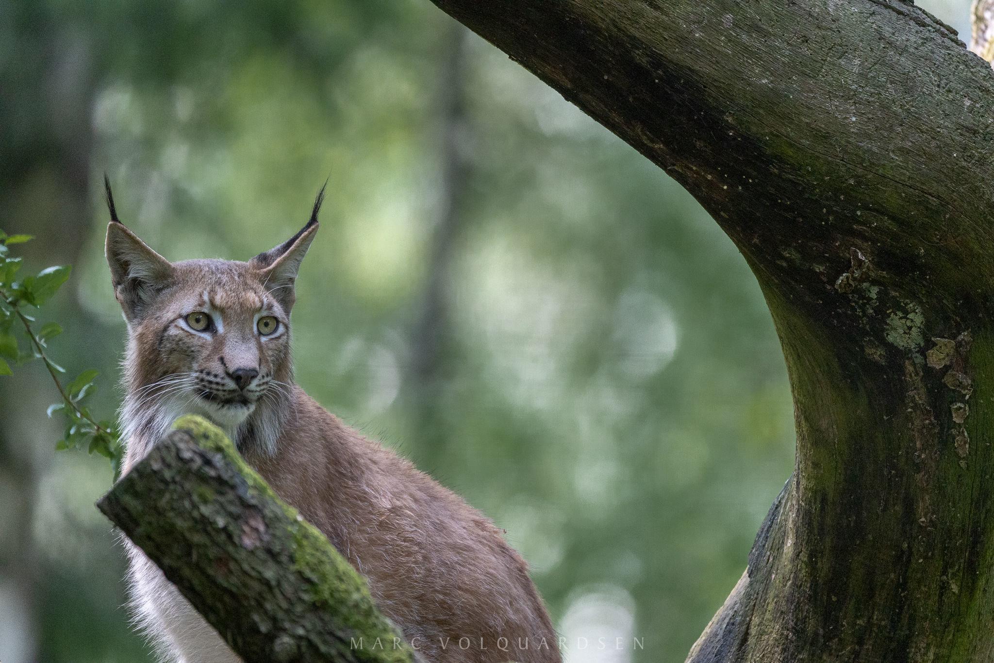 Wildlife Park Schwarze Berge - Lynx Finn (0936)
