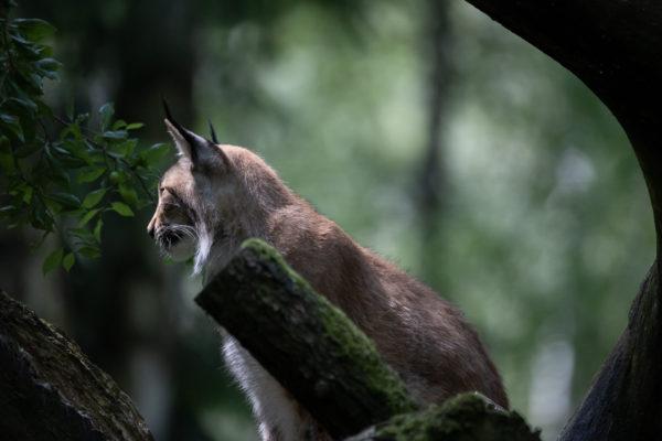 Wildlife Park Schwarze Berge - Lynx Finn (0965)