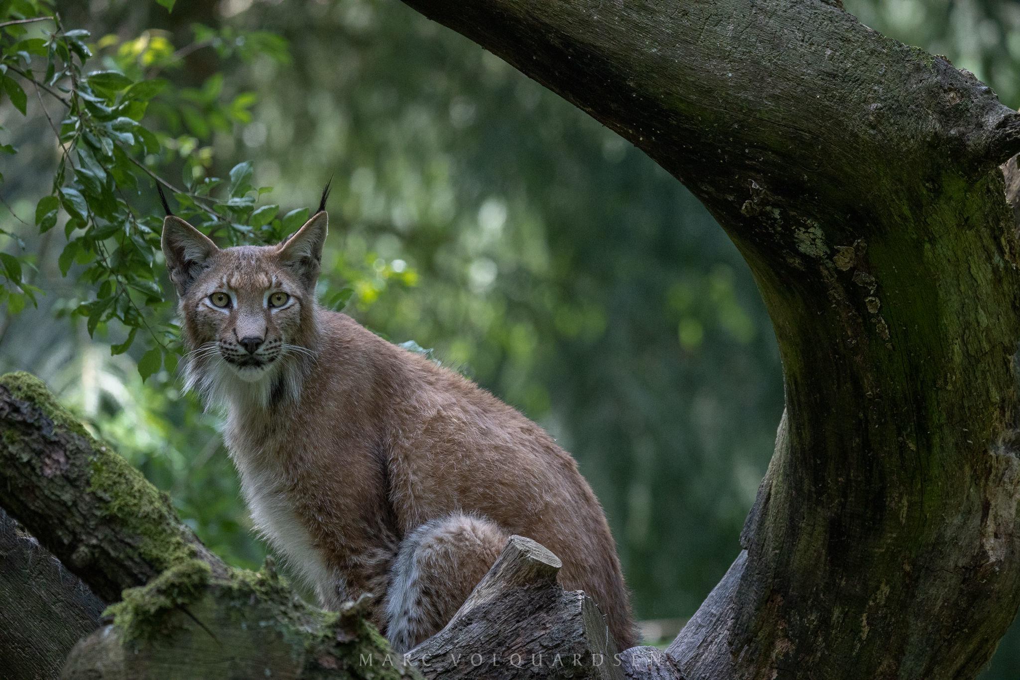 Wildlife Park Schwarze Berge - Lynx Finn (0975)