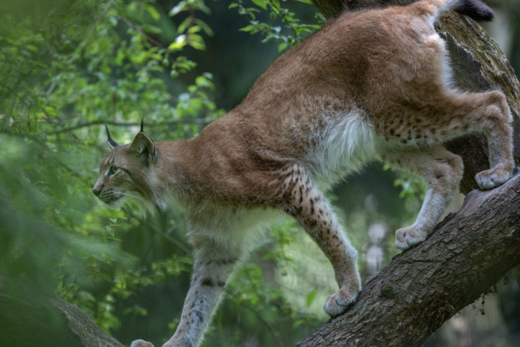 Wildlife Park Schwarze Berge - Lynx Finn (0983)