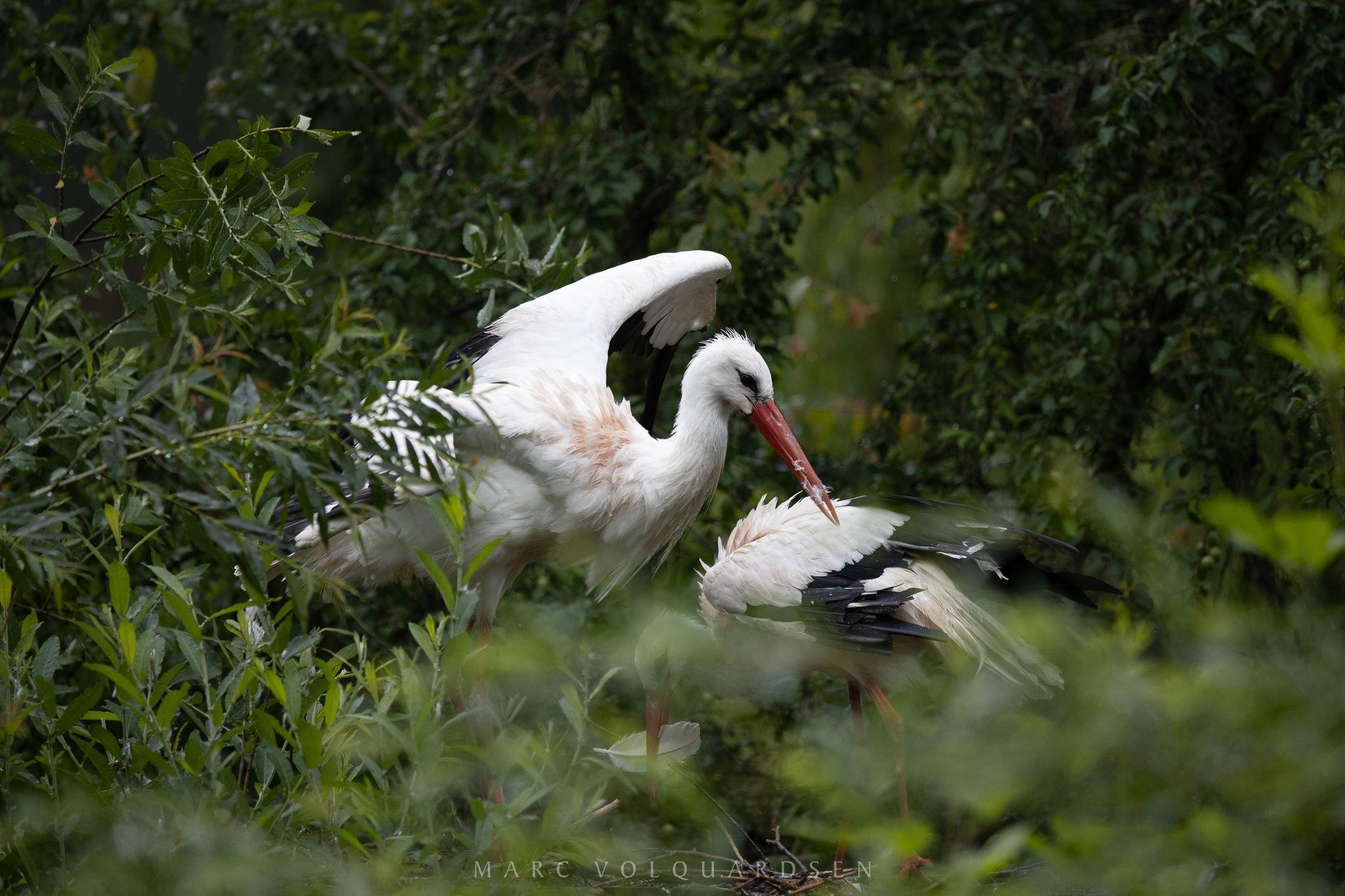 Storks in the nest (0127)