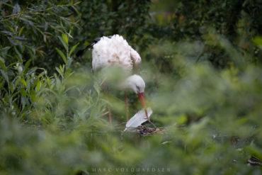 Wildlife Park Schwarze Berge — Storks