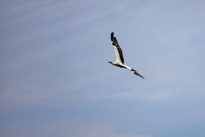 Stork in flight (0771)