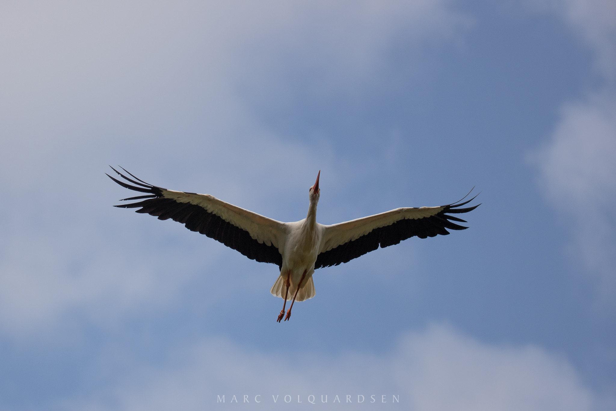 Stork in flight (0783)