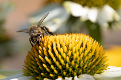 Bee on a yellow/white coneflower (0020)